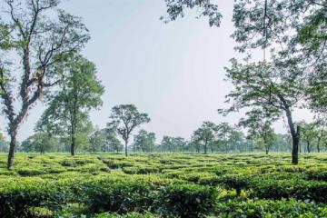 damdir-tea-gradens-priya-travels