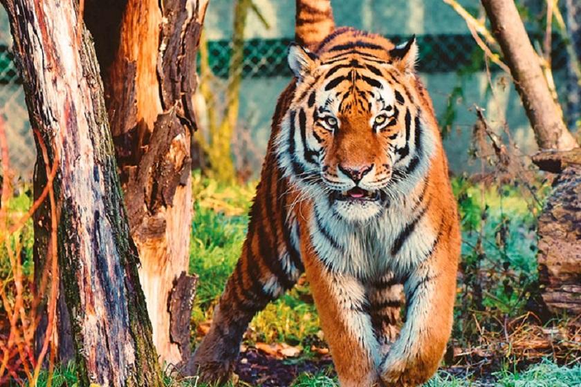 assam-kaziranga-tiger-tour-priya-travels