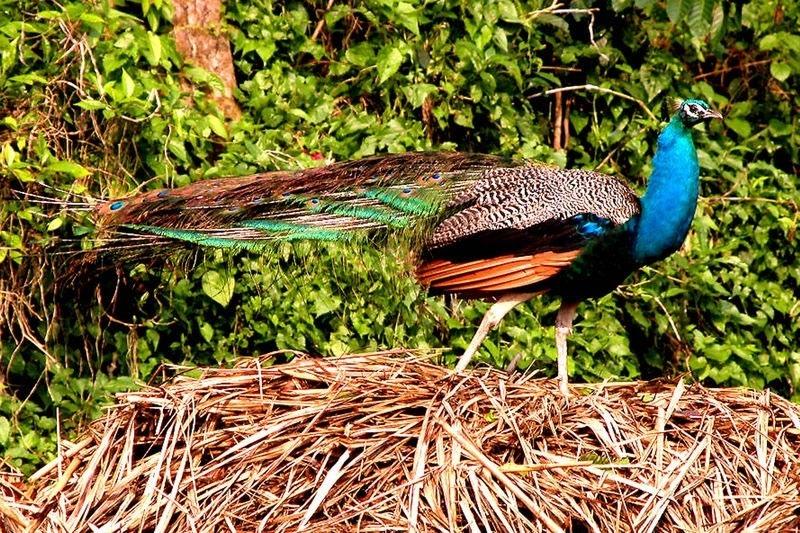 peacock-at-gorumara-priya-travels