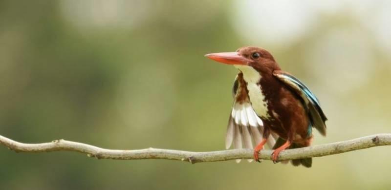 white-throated-kingfisher-murti-gorumara-priya-travels
